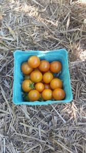 Marigolds freshly picked